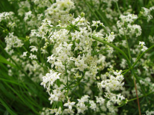 Caille-lait blanc (Galium mollugo)