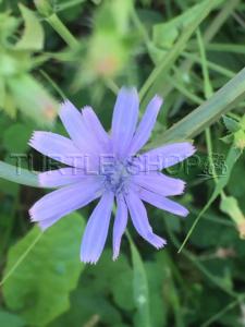 Chicorée sauvage (Cichorium intybus L)
