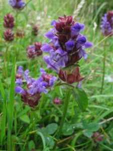Brunelle Commune (Prunella vulgaris)