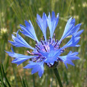 Bleuet des Champs (centaurea cyanus)