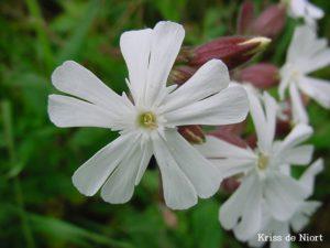 Compagnon blanc (Silène Latifolia)